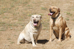 2 labrador bitches Stock Photography
