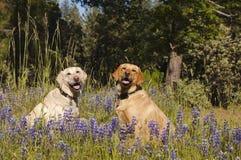 2 labradors в цветках Стоковое фото RF
