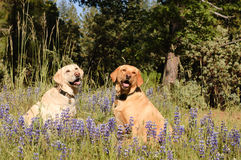 2 labradors. Two female Labradors sitting in the wildlflowers royalty free stock image
