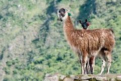 2 lamas au picchu de Machu Images libres de droits
