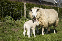 2 lambs in the meadow Stock Image