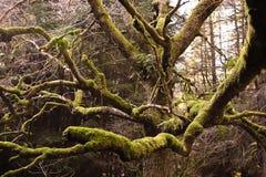 2 lasowy drzewo Zdjęcie Stock