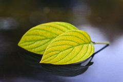 2 leaves in autumn Stock Photography