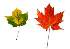 2 leaves isolated Royalty Free Stock Photos