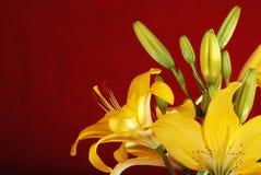 2 leluj kolor żółty Zdjęcie Royalty Free