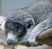 2 lemurów mangusta. Zdjęcia Royalty Free