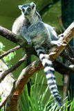 2 lemurs. On a tree Stock Photos