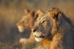2 leoni Fotografie Stock Libere da Diritti
