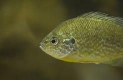 2 lepomis gibbosus sunfish Στοκ φωτογραφία με δικαίωμα ελεύθερης χρήσης