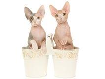 2 leuke katjes Sphynx in dubbele emmers Stock Fotografie