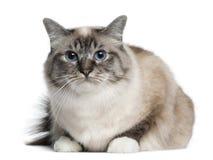 2 liggande gammala år för birman katt Arkivfoton