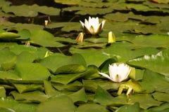 2 lilly水 免版税图库摄影