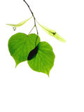 2 Linden (lime) leaves. Two isolated back lit Linden (lime tree ) Leaves with seeds stock image