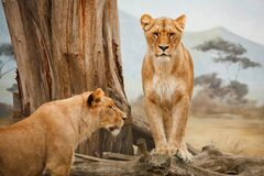 2 Lion on Grass Field during Daytime Stock Images