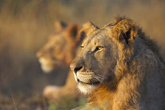 2 Lions. Two lions side by side Royalty Free Stock Photos