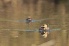 2 little grebes. Two little grebes swimming Royalty Free Stock Photo