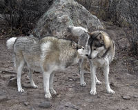 2 lobos Foto de Stock Royalty Free