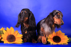 2 long-haired dachshunds Стоковая Фотография RF