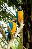 2 loros amarillos Foto de archivo