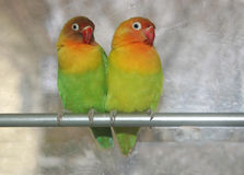2 love birds. Taken in the kitchenat home. was babysitting these birds for a freind Royalty Free Stock Images