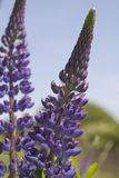 2 lupines Obrazy Royalty Free