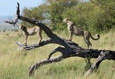 2 männliche Gepardbrüder, die auf einem gefallenen Baum aufwerfen Lizenzfreie Stockbilder