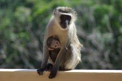 2 małp matka Zdjęcia Royalty Free