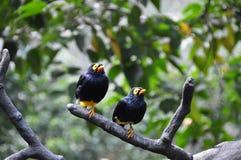 2 Magpies de Celebes na árvore Imagens de Stock