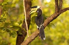 2 malabar pied för hornbill Arkivfoton