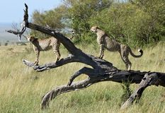 2 male cheetah brothers posing on a fallen tree Royalty Free Stock Images