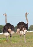 2 mannelijke Struisvogel Royalty-vrije Stock Afbeeldingen