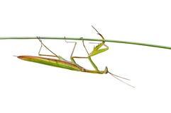 2 mantis χλόης λεπίδων Στοκ εικόνα με δικαίωμα ελεύθερης χρήσης