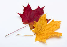 2 maple leaves. Red and yellow faded maple leaves on white background Royalty Free Stock Image
