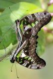 2 mariposas atadas de Jay que se divierten Imagen de archivo