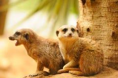 2 meercats сидя около вала Стоковая Фотография