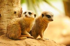 2 meercats сидя около вала Стоковые Изображения