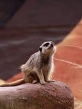2 meerkat注意 免版税库存照片