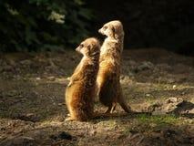 2 meerkat s Στοκ φωτογραφίες με δικαίωμα ελεύθερης χρήσης