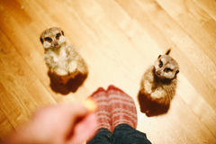 2 Meerkats Beside Person Standing Stock Images