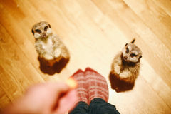2 Meerkats Beside Person Standing Stock Photo