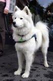 2 miłe eskimo psa. Obrazy Stock