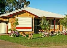 2 miejskiego kangura Fotografia Royalty Free