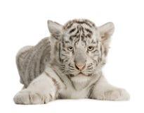 2 miesięcy młode biały tygrys Fotografia Royalty Free