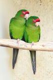 2 Mitred Parakeet стоковая фотография rf