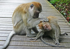 2 monkeys cleaning. Monkeys cleaning themselves at a nature reserve royalty free stock image