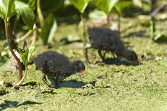 2 Moorhen chicks Stock Photos