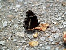 2 motyli egzotyczna wyspa Phuket Thailand Obraz Stock