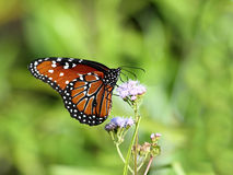 2 motyli królowa Obrazy Royalty Free