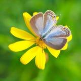 2 motyli miodowy target160_0_ Fotografia Stock