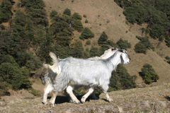 2 mountain goats walking along a Himalayan trail Stock Image